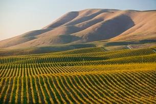 Vineyard in Santa Maria Californiaの写真素材 [FYI03642907]