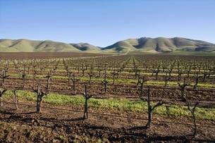Vineyard in Santa Maria Californiaの写真素材 [FYI03642911]