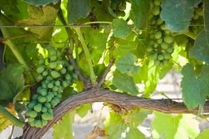 Vineyard in Santa Maria Californiaの写真素材 [FYI03642913]
