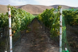 Vineyard in Santa Maria Californiaの写真素材 [FYI03642919]