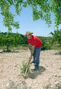 Farmer hoes stony ground in olive grove Murciaの写真素材 [FYI03643343]