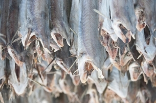 Dried cod stockfish in Loftofen Norway for export to Italyの写真素材 [FYI03643423]