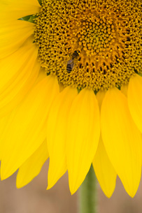 Close-up of bee on sunflowerの写真素材 [FYI03645838]