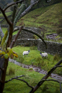 Sheep on pasture in Yorkshire Dales Yorkshire Englandの写真素材 [FYI03645898]