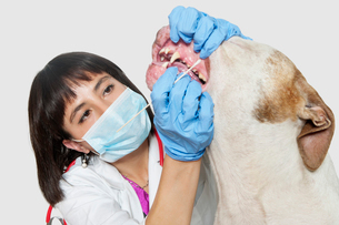 Female vet cleaning dog's teeth over gray backgroundの写真素材 [FYI03646186]