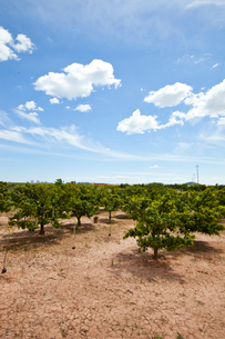 Orange orchard, Valencia Spainの写真素材 [FYI03646839]
