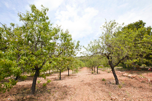 Rows of almond trees in almond grove, Valencia Region, Spainの写真素材 [FYI03646849]