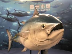 豊洲市場 マグロの写真素材 [FYI03648373]