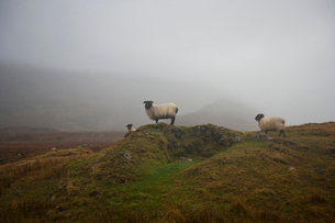 Sheep grazing on misty farmの写真素材 [FYI03648988]