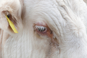 Close-up view of a Cow's eye in Essex, United Kingdomの写真素材 [FYI03649338]