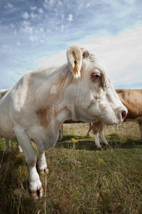 Close-up of cow in pasture against blue skyの写真素材 [FYI03649344]