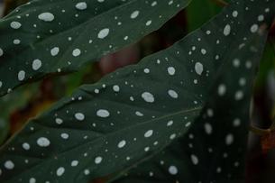 ベゴニアの葉の写真素材 [FYI03651566]