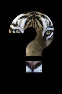 Tiger in question mark over black backgroundの写真素材 [FYI03653465]