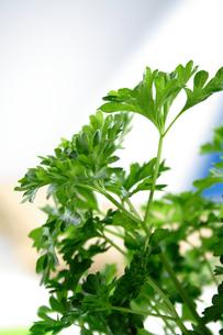 Close up of fresh parsleyの写真素材 [FYI03653827]