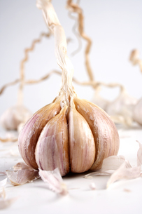 Studio shot of garlic on white backgroundの写真素材 [FYI03653925]