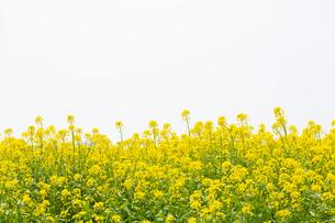 黄色い菜の花の写真素材 [FYI03660832]