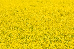 一面の黄色い菜の花畑の写真素材 [FYI03660863]