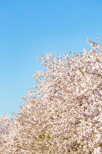 青空と八重桜の写真素材 [FYI03660971]