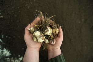 Person holding handful of plant bulbsの写真素材 [FYI03660990]