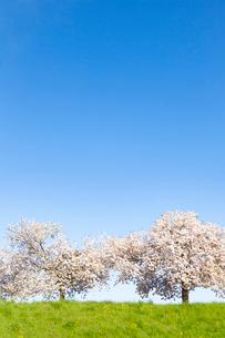 青空の下の桜の木の写真素材 [FYI03661050]