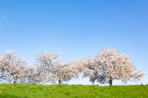 青空の下の桜の木の写真素材 [FYI03661070]