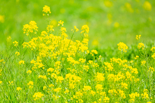 黄色い菜の花の写真素材 [FYI03661124]