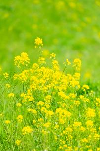 黄色い菜の花の写真素材 [FYI03661148]