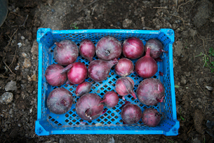 Spanish onions in containerの写真素材 [FYI03661163]