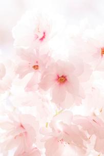 陽ざしに透過された八重桜の花の写真素材 [FYI03661201]