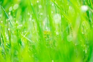 朝露の輝く野草の写真素材 [FYI03661324]