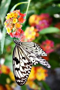 Paper Kite butterfly (Idea Leuconoe) on flowerの写真素材 [FYI03661508]