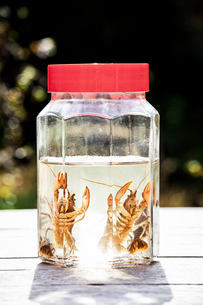 Crayfish trapped in jar with waterの写真素材 [FYI03662718]
