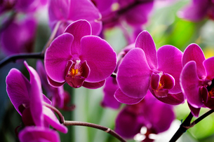 Close up of pink orchid flowersの写真素材 [FYI03665385]