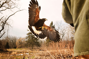 Falcon in flightの写真素材 [FYI03666724]