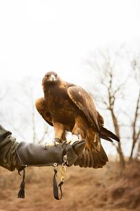 Falcon on man's handの写真素材 [FYI03666730]