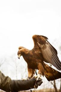 Falcon on man's handの写真素材 [FYI03666733]