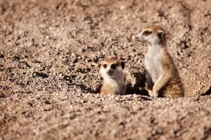 Meerkats on lookoutの写真素材 [FYI03666975]