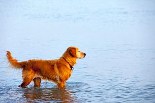 Dog wading in lakeの写真素材 [FYI03667000]