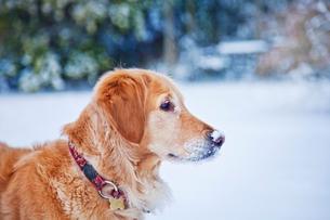 Golden Retriever in snowy landscapeの写真素材 [FYI03667006]