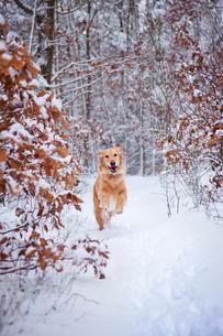 Happy Golden Retriever running in forest in snowの写真素材 [FYI03667008]
