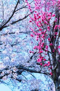 桜と桃の花の写真素材 [FYI03667303]