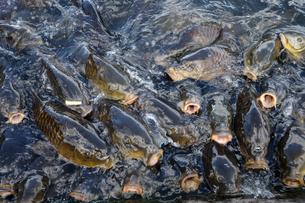 鯉の群れの写真素材 [FYI03674096]