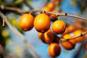 Orange fruit on branchesの写真素材 [FYI03675997]
