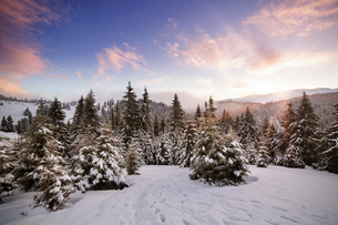 Pine forest in snowy mountainsの写真素材 [FYI03679277]