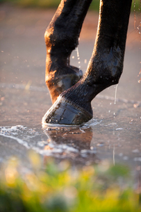Horse's hoofの写真素材 [FYI03681399]