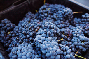 Heap of red grapesの写真素材 [FYI03682050]