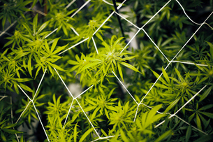 Close up of cannabis plantの写真素材 [FYI03682542]