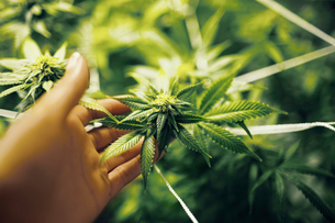 Close up of hand touching cannabis plantの写真素材 [FYI03682543]