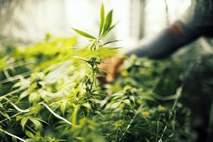 Man touching cannabis plantの写真素材 [FYI03682544]