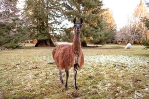 Llama standing in zooの写真素材 [FYI03683613]